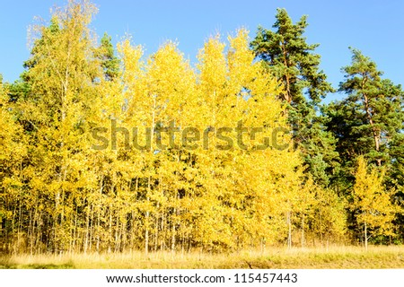 Yellow leaves on several aspen trees with some pines in the background. A typical autumn scenery in the boreal climate zone.