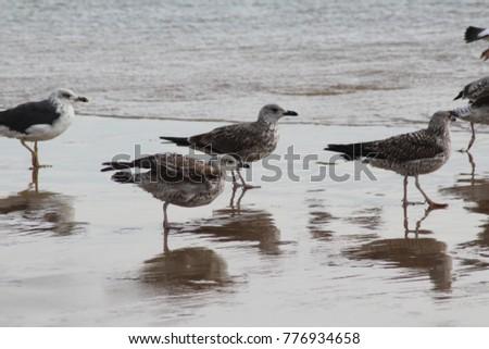 yellow-legged-gull (Larus michahellis) on the beach