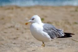 Yellow-legged gull (Larus michahellis) perched on the beach
