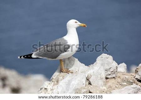 Yellow legged sea gull standing on a rock