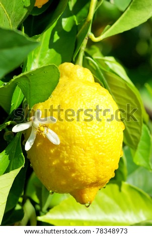 Yellow lemon and flower hanging on tree.