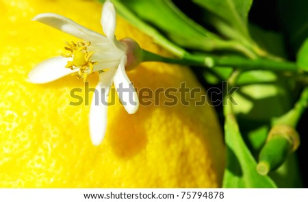 Yellow lemon and flower  on tree.