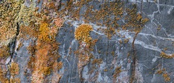 Yellow lichen on a gray rock. Colonies of fungal plants.