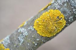 Yellow lichen on a tree.