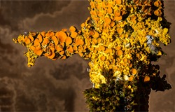 Yellow lichen on a tree trunk. Lichens on tree trunk. Lichen on tree brnach. Lichen on tree
