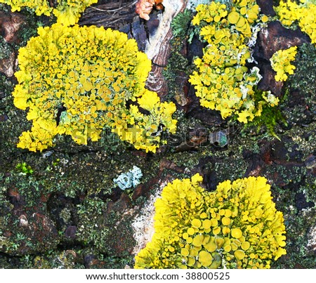 Yellow lichen on bark can use as nature background