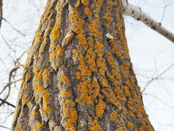 Yellow lichen on the bark of a tree. Tree trunk affected by lichen. Moss on a tree branch. Textured wood surface with lichens colony. Fungus ecosystem on trees bark. Common orange lichen. Soft focus.