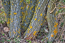 Yellow lichen on the bark of a tree. Tree trunk affected by lichen. Moss on a tree branch. Textured wood surface with lichens colony. Fungus ecosystem on trees bark. Common orange lichen.