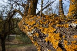 Yellow lichen on tree dry branches. Xanthoria parietina, yellow scale, shore lichen, common orange lichens are non parasitic plant like organisms. Closeup, blur nature background.