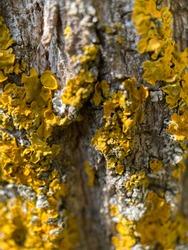Yellow lichen (Xanthoria parietina) on a tree trunk.
