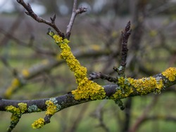 Yellow lichens on fruit tree branch.