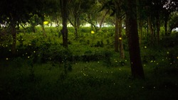 yellow light of firefly, insect or bug animal, fly in nature forest over the glass at night after sunset time, beautiful nature landscape
