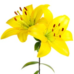 Yellow lilies on a white background