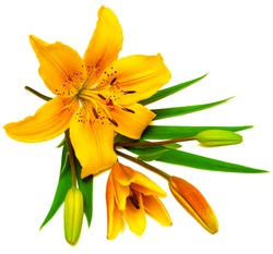 Yellow lily flower with buds isolated on a white background. Flowers resembles a starfish