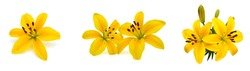 Yellow lily flowers on a white background