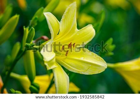 Yellow Lily flowers star shape. Big day lily flowering plant. Yellow Hemerocallis daylily  Bel flower Сток-фото ©
