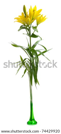 yellow lily in high glass  vase isolated on white background