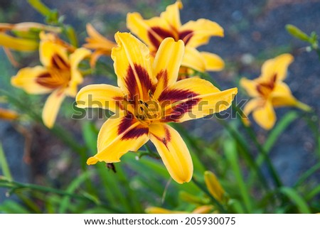 yellow lily in natural lighting