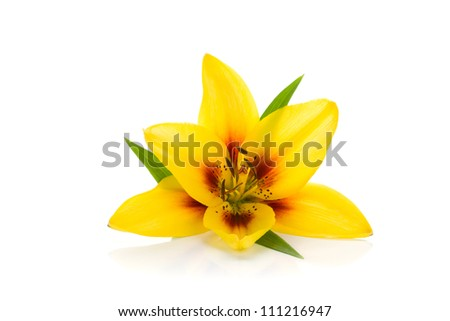 Yellow lily. Isolated on white background