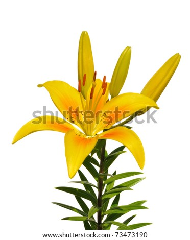Yellow Lily (Lilium) Flower Isolated on White