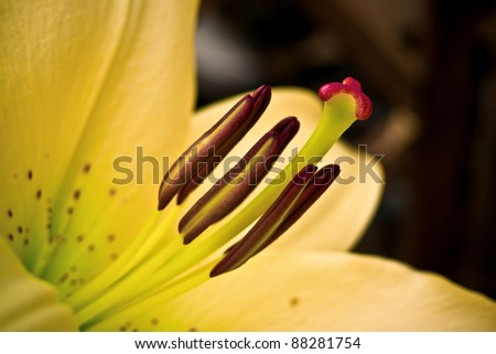 Yellow lily of the garden - stock photo