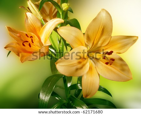 Yellow lily on a colored background
