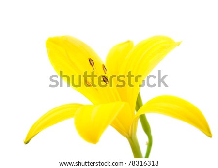 yellow lily on a white background - stock photo