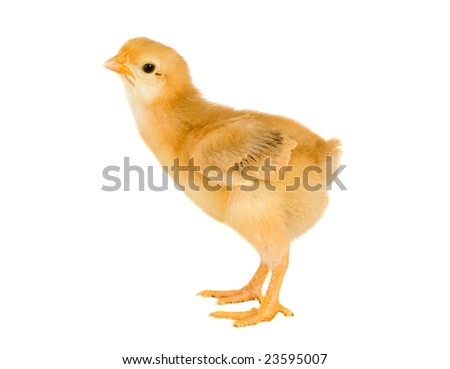 Yellow little chicken a over white background