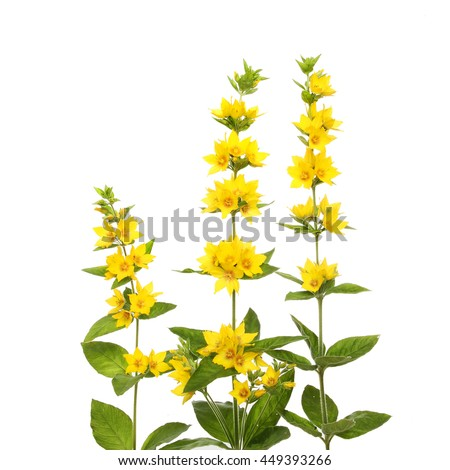 Yellow loosestrife lysimachia punctata flowers and foliage yellow loosestrife lysimachia punctata flowers and foliage isolated against white mightylinksfo