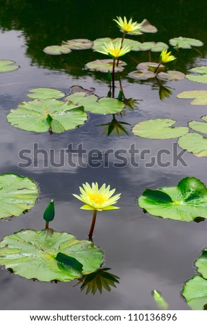 yellow lotus blooming with reflection