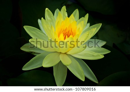 Yellow lotus  with green leaves