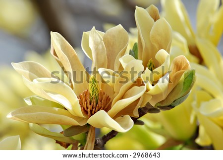 """Yellow magnolia blossoms also known as """"Butterflies Magnolia"""""""