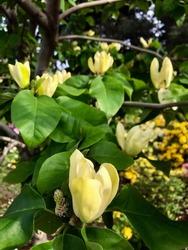 Yellow Magnolia in Spring Garden