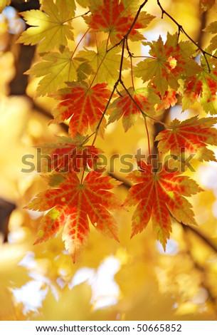 Yellow maple, autumn - stock photo
