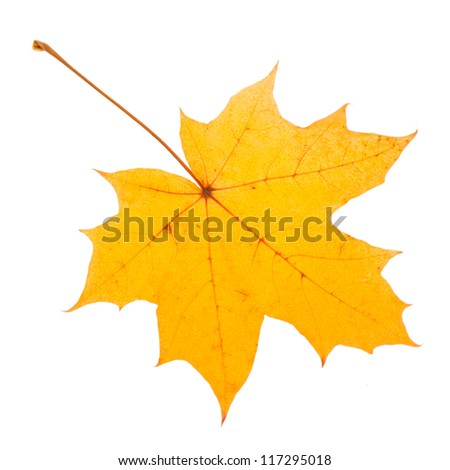Yellow maple leaf as an autumn symbol. Isolated on white. #117295018