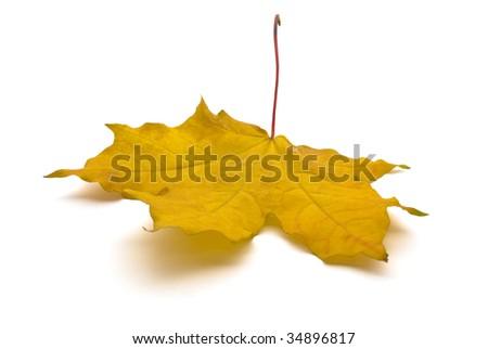 yellow maple leaf isolated on white background