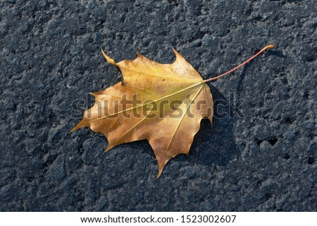 Yellow maple leaf lying on a black asphalt road. View from above #1523002607