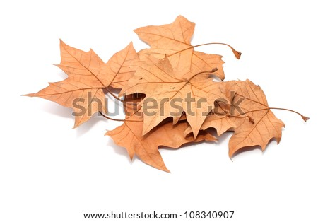 yellow maple leaf on white background