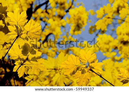 Yellow maple leaves against blue sky