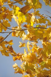 yellow maple leaves against the sky