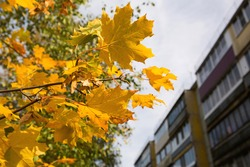 Yellow maple leaves along a residential apartment building. Autumn landscape, Sunny weather, Indian summer. Back to school, space for text