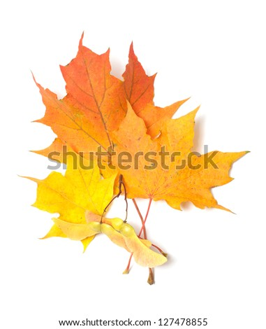 Yellow maple leaves and seeds it is isolated on a white background.