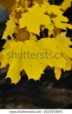 yellow maple leaves at branch, deep brown background #1021833841