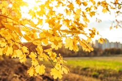 Yellow maple leaves during autumn season with warm sunlight from behind.  Fall park on blurry background. Beautiful nature scene, Canada Day concept.