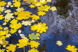 yellow maple leaves floating on the dark water.