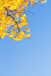 yellow maple leaves in  autumn park , copy space on bright blue sky