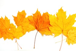 yellow maple leaves on a white background, top view