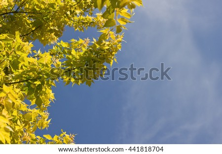 Yellow maple leaves on blue sky background. Autumn texture with place for text or copy space  #441818704