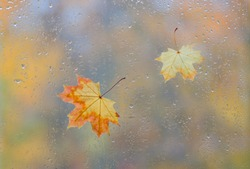 Yellow maple leaves on wet window glass with rain drops. Autumn rainy day and october weather in fall concept with fallen leaf on wildscreen glass background