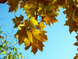 Yellow maple leaves shine through in the sun against a blue sky background. Natural autumn joyful background.
